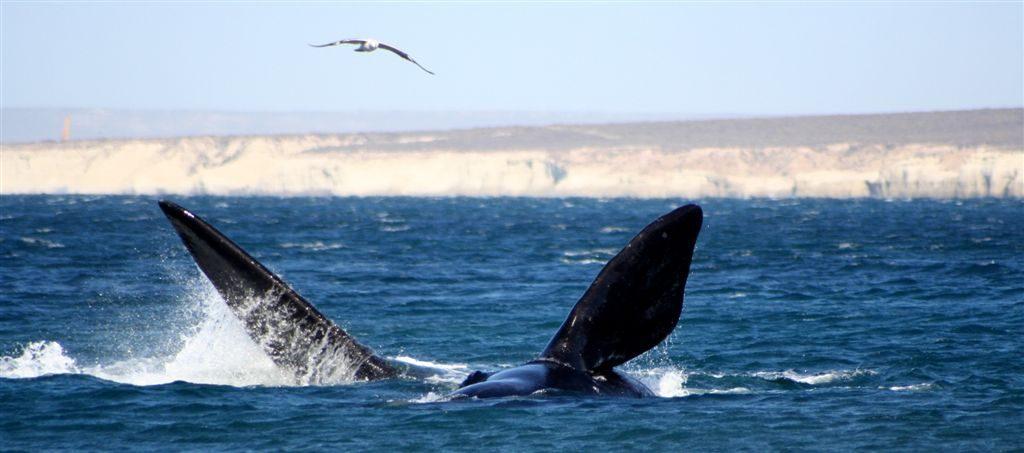 Mejor destino de avistamiento de ballenas en Sudamérica