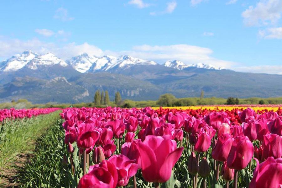 Tulipanes en Trevelin